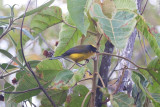 Yellow-crowned Redstart