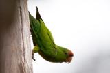 Scarlet-fronted Parakeet.