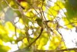 Golden-breasted Fruiteater