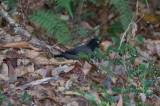 Black-hooded Thrush