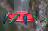 White-tailed Starfrontlet, Green Violetear & Violet-crowned Woodnymphs
