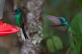 White-tailed Starfrontlet & Green Violetear