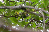 Groove-billed Toucanet (Yellow-billed)