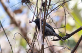 Black-backed Antshrike