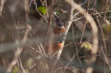 White-whiskered Spinetails