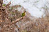 Brown-throated Parakeet (Brown-throated)