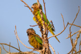 Brown-throated Parakeets (Brown-throated)
