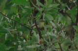 Unnamed Wagtail-Tyrant