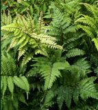 English Painted Fern