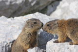 alpine_marmot_marmota_marmota