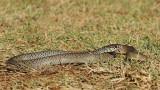 Balkan whip snake Hierophis gemonensis belica_MG_1066-111.jpg