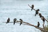 Pygmy cormorant Microcarbo pygmeus pritlikavi kormoran_MG_5048-111.jpg