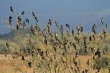 Pygmy cormorant Microcarbo pygmeus pritlikavi kormoran_MG_5141-111.jpg