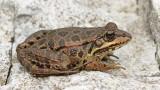 Albanian water frog Pelophylax (Rana) shqipericus_MG_9069-111.jpg