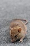 Brown rat Rattus norvegicus siva podgana_MG_5412-11.jpg