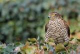 Eurasian sparrowhawk Accipiter nisus skobec_MG_1466-111.jpg