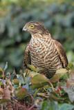 Eurasian sparrowhawk Accipiter nisus skobec_MG_1442-11.jpg