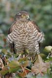 Eurasian sparrowhawk Accipiter nisus skobec_MG_1409-11.jpg