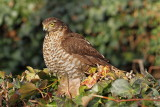 Eurasian sparrowhawk Accipiter nisus skobec_MG_1370-111.jpg