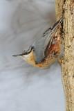 Eurasian nuthatch  Sitta europaea brglez_MG_1273-11.jpg