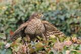 Eurasian sparrowhawk Accipiter nisus skobec_MG_1394-111.jpg