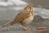 Song thrush Turdus philomelos cikovt_MG_28571-111.jpg