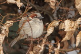 House sparrow Passer domesticus domači vrabec_MG_2778-111.jpg