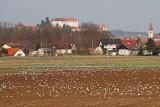 Gulls feeding on field galebi se hranijo na polju_MG_3902-111.jpg