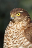 Eurasian sparrowhawk Accipiter nisus skobec_MG_1386-11.jpg