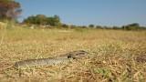 Balkan whip snake Hierophis gemonensis belica _MG_0098-111.jpg