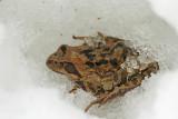 Common frog on snow sekulja na snegu_MG_45601-111.jpg