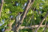 Green woodpecker Picus viridis zelena ¾olna_MG_0068-1.jpg