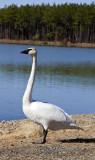 Swans 2013