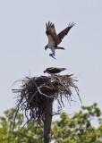 Osprey Copulation