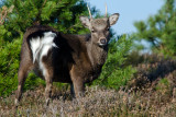 Young male sika deer