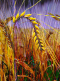 Ear of wheat (2260