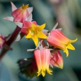 Cactus flowers, Knightshayes