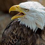 Bald eagle again, Benalmadena
