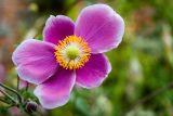 Japanese anemone, Dunster