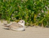 JFF5845 Piping Plover Juvenile Winter Plummage.jpg