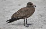 Heermann's Gull, juvenile (1 of 2)