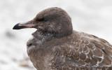 Heermann's Gull, juvenile (2 of 2)