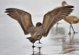 Heermann's Gull, 1st cycle