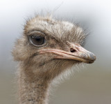 Domestic African Ostrich (2 of 2)