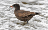 Heermann's Gull with tongue issue, 1st cycle (1 of 2)