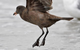 Heermann's Gull, 1st cycle with tongue issue