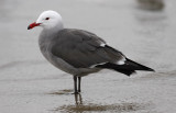 Heermann's Gull, alternate 4th cy or adult