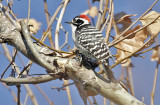 Nuttall's Woodpecker, adult male