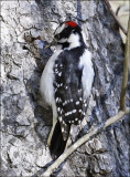 Downy Woodpecker, male