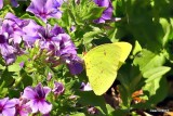 SULPHUR BUTTERFLY  AND A FLY